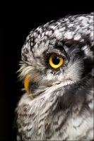 Northern hawk owl. by Evey-Eyes