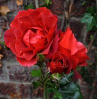 Roses Are Red by Forestina-Fotos