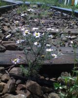 Railway track chamomile by Woolfred