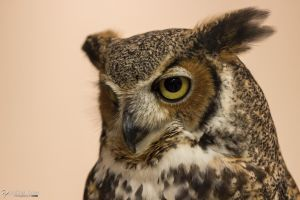 Great horned owl 1 by CyclicalCore