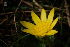 Just a yellow flower by morpheus880223