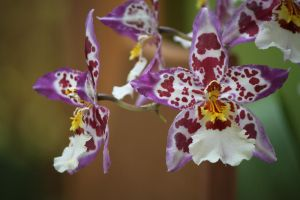 Cambria Orchid by Freckles4815162342