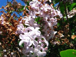 Lilacs 14 May 2015-04 by SkyfireDragon