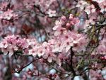 Cherry Blossoms 6 by artbunny