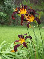 Day Lilies by Wolf-Daughter