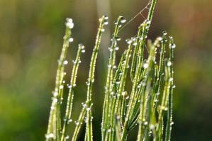 Day for dew by tomsumartin