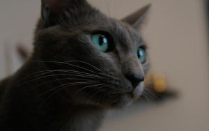 Simba - the russian blue n1 by vadim007