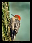 fluffy red head woodpecker by bad95killer