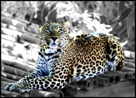 Leopard in the Morning Sun by mikewilson83
