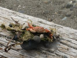 Crabby by StitchCometCreations