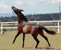 GE Arab black brown canter side on head right up by Chunga-Stock