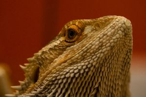 Bearded Dragon by poisonous