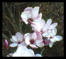 Japanese Magnolia II by KnK-stock