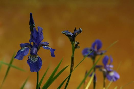 Iris I by Photopathica