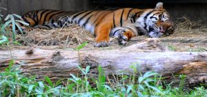 Let Sleeping Tigers... by 0149