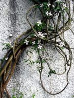 Climbing Clematis, Cropped by strwbryfldzforvr