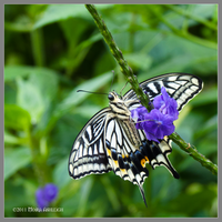 Anise Swallowtail Butterfly by Mogrianne