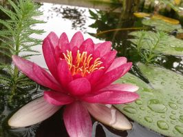 Water Lily by Kitsumi-Hime