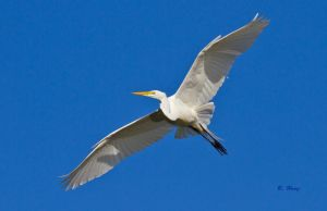 Great Egret by Grouper