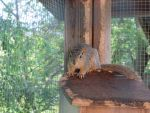 Young Fox Squirrel 1 by Windthin