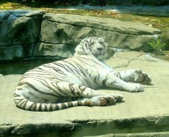White Tiger by moonlightrose44