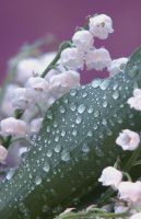 Lily of the Valley II by lovingenglish