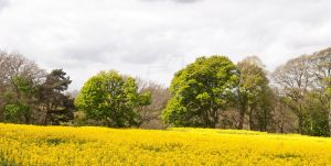 Field of Rape Seed by Cre8tivePhotography
