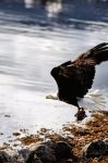 Bald Eagle with Fish Head by basseca