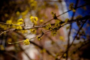 Yellow Buds by light-scape