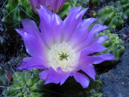 beautiful cactus flower by Paul774