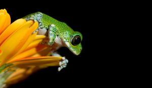 Peacock frog about to leap by AngiWallace