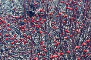 rosehips by hennatea