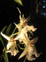 yellow orchids 01 by CotyStock