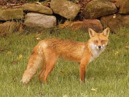 Red Fox by PaganFireSnake