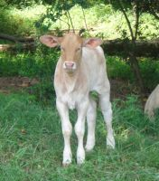 Brahma cross calf stock by pookyhorse