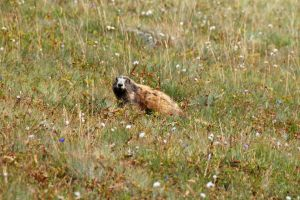 Whistling Marmot by MogieG123