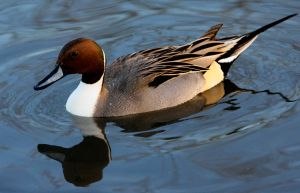 Northern Pintail by Tinap