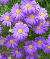 Purple Daisies by morningstar42