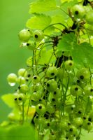 White Currant 7091 by bimbom