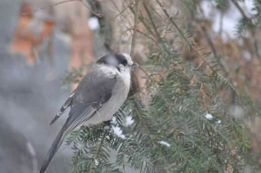 Canada Jay by BloodiedGypsy