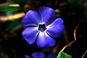 Bolder Blue Flower by baruch60610