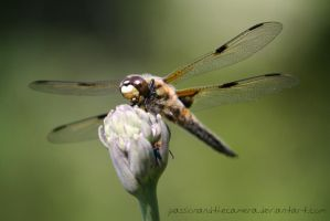Dragonfly by PassionAndTheCamera