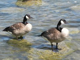 Canada Geese 007 by presterjohn1