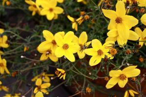 Yellow Flowers - colors of summer by MasterV3GA