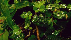 Three-leafed clovers after the rain by RicheliVargas