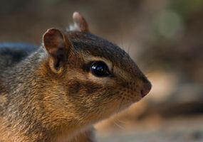 Chipmunk by BirdinByNoon