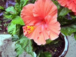 Red Hibiscus by MOGGGET