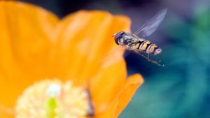 Hoverfly V by sixtyfour