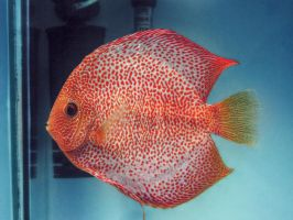 discus fish by BL00DYSunflowers
