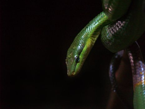 Red Tailed Green Ratsnake. by purevintage